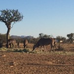 Elands in South Africa