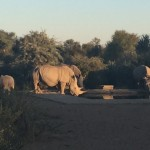 Rhinos in South Africa