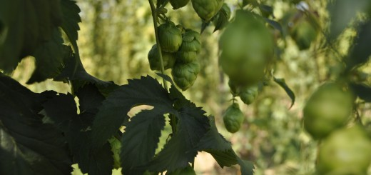 Hops - The Soul of Beer
