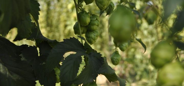 Hops - The Soul of Beer