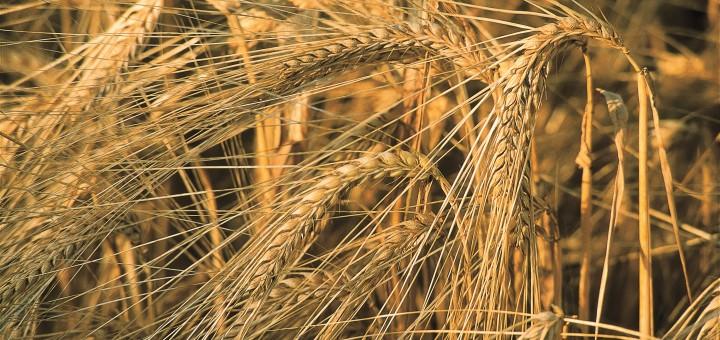 Grain varieties form different malts