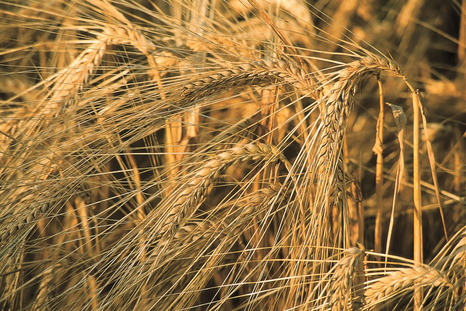 Grain varieties form different malts