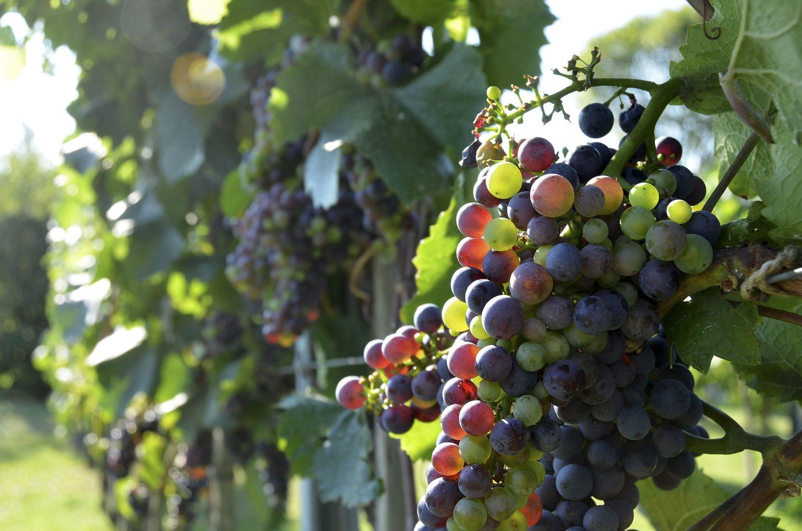 reife Weintrauben
