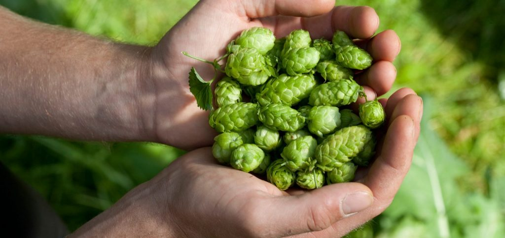 Hands full of hops