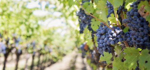 Weinreben mit Weintrauben daran