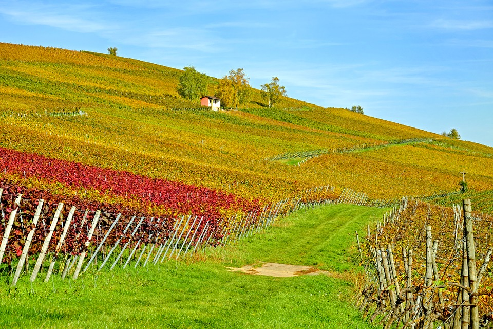 A field with grapevines