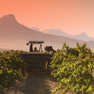 A tractor driving through a grapevine harvesting