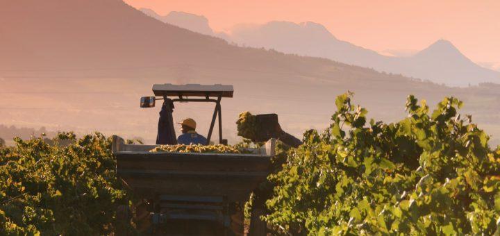 Man vs machine: harvesting machines in the winemaking industry