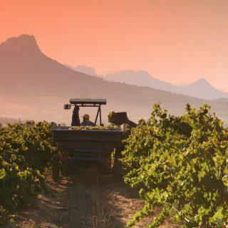 Mensch vs. Maschine: Erntemaschinen im Weinbau