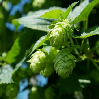 Major changes in the hops market – bittering hops vs. aroma hops
