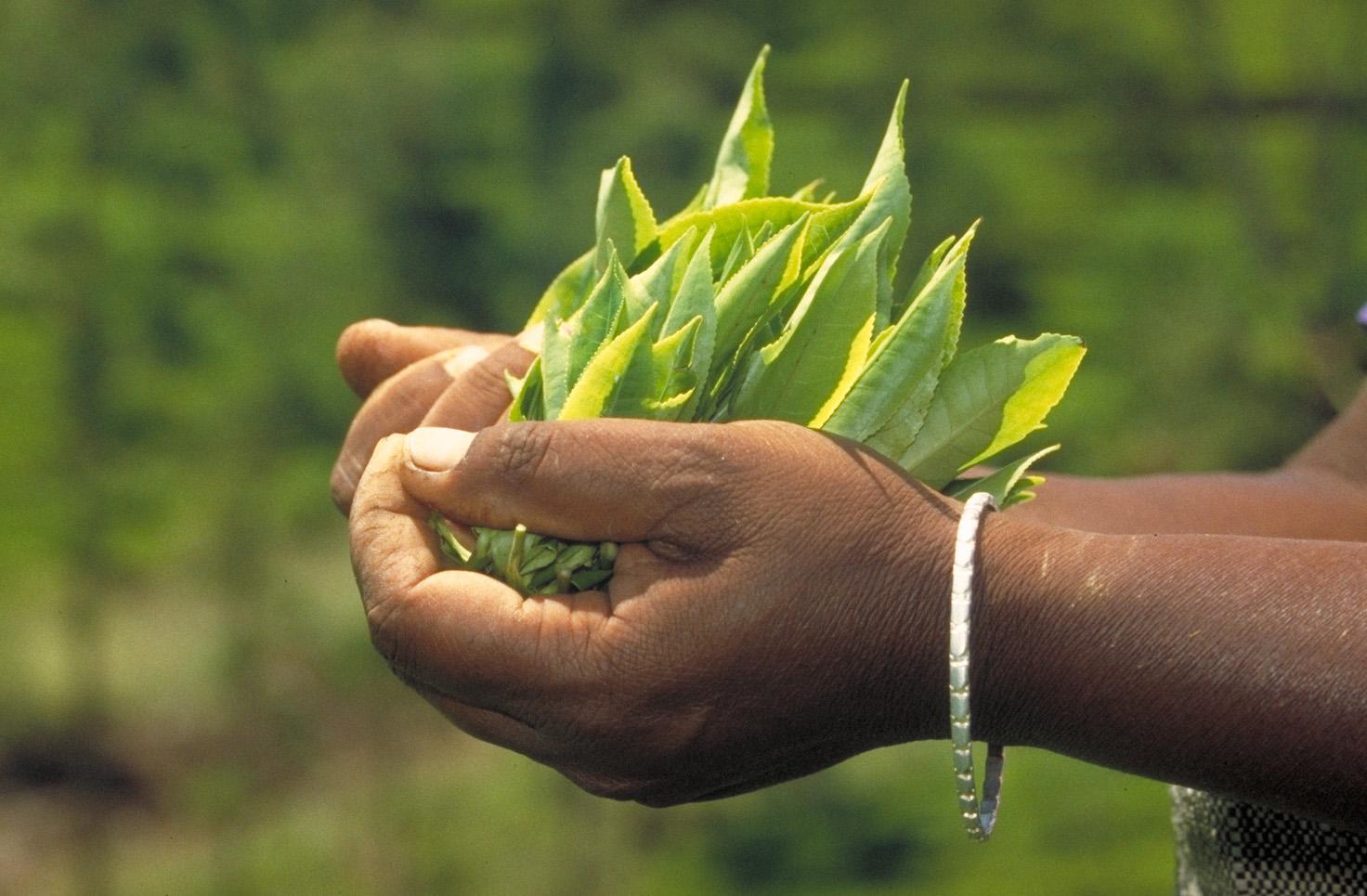 Teegetränke aus frischen Teeblättern