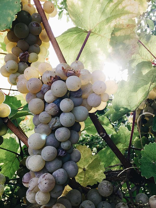 Bio-Weine verzeichnen in der EU ein starkes Wachstum