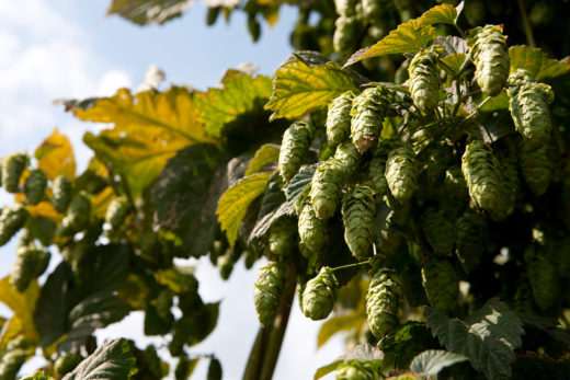 Hops market - demand is rising
