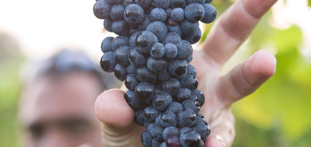 2019 grape harvest in Europe