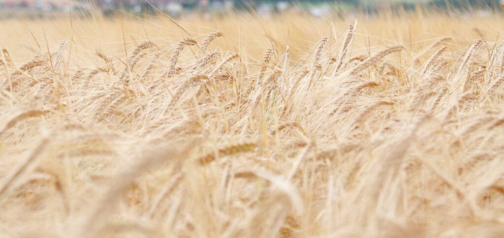 Gerstenfeld kurz vor der Ernte
